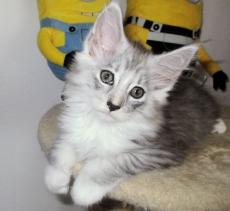 2 Wunderschöne Maine Coon Kitten :) :)