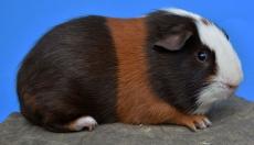 Junge Meerschweinchen suchen ein zu Hause