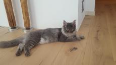 Main Coon Kitten zu verkaufen