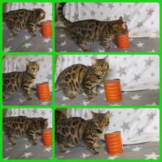 Reinrassige Bengal Kitten - mini Leoparden - Sofort auszugsbereit