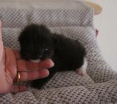 Main Coon Kitten