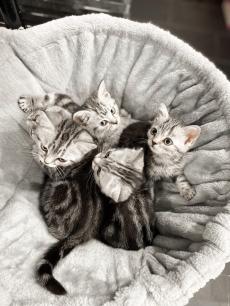Herzige Britisch Kurzhaar Kitten BKH Black Silver Classic tabby