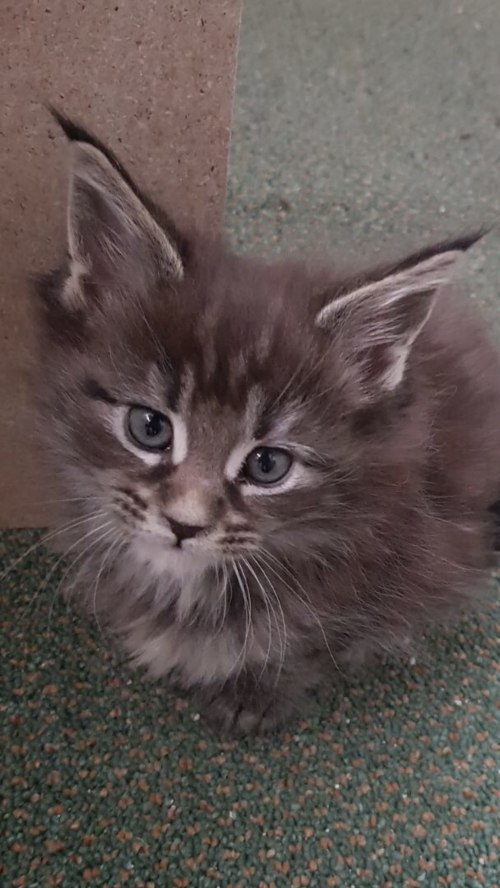 Maine Coons Kitten